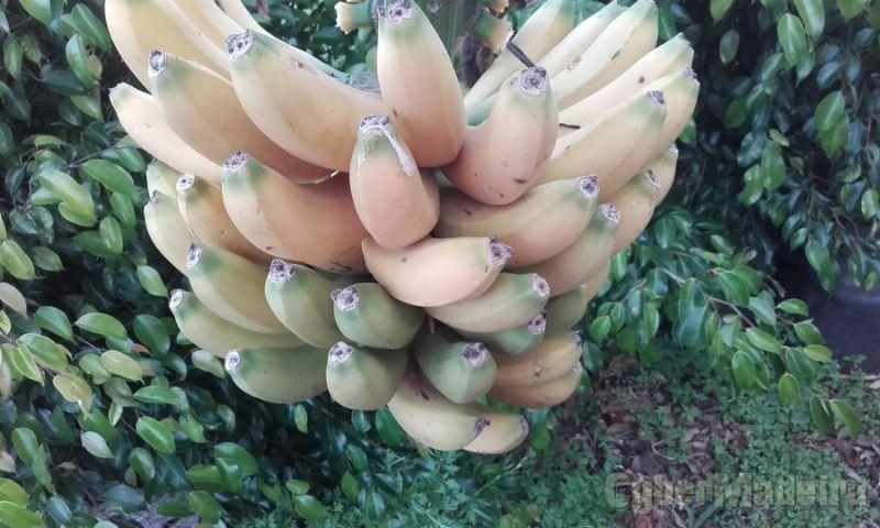 Bananas - Bananeira/Banana da Madeira