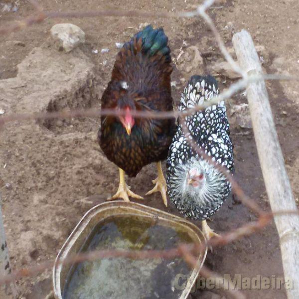 Casal galinhas de raça