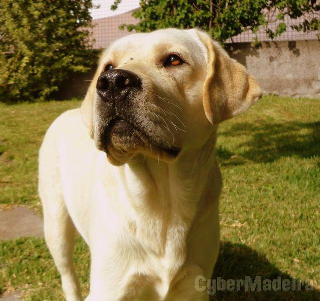 Labrador creme macho para criação Labrador