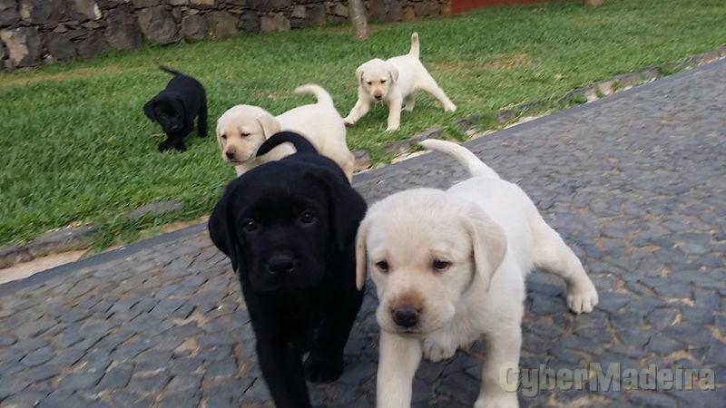 Grande linhada Labrador