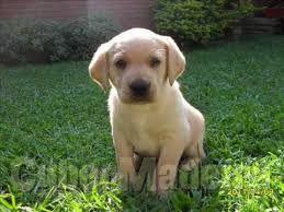 Labradores raça pura Labrador