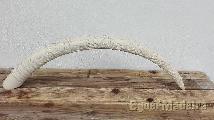 Dente elefante marfim
