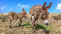 Compro burro burra