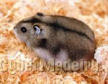 Compro hamsters russo