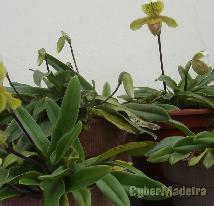 Orquídeas sapatinhos