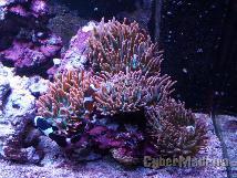 Anemonas quadricolor Outros