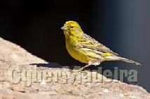 Compro  canarios  da  terra