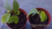 Anoneira planta