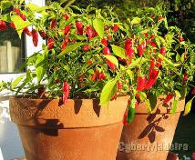 Planta pimenteira