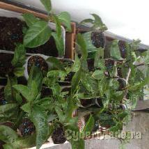 4 plantas de maracujaseiros